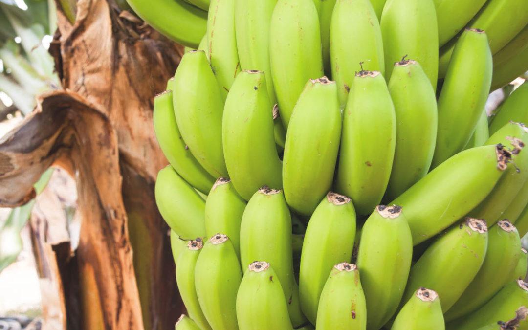 Temporada de algumas variedades de banana