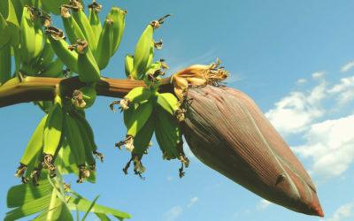 Curiosidade: Você já viu a flor da bananeira?